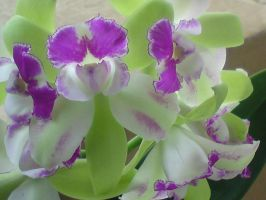 Orchids blooming by Nyavene