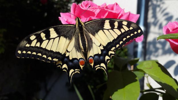 butterfly on rose by 33Maria