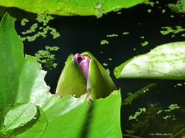 Waterlily bud by Mogrianne