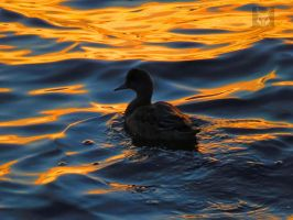 Gold And Blue Silk Duck by wolfwings1