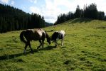 horses in alpine meadow 01. by greenleaf-stock