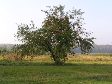Lonely Apple Tree by njibhu