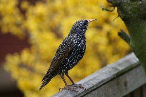 Starling by tsb-stock