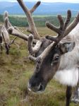 Reindeer ready to rumble by johnfsfreeman