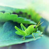 Grasshopper by anneclaires