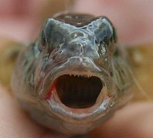 Mouth of round goby (2) by slingeraar