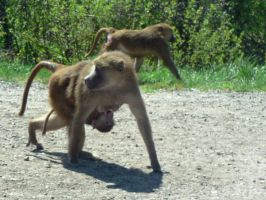 Baboon with baby by allykat