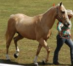 palomino thoroughbred trotting by tbg-stock-images
