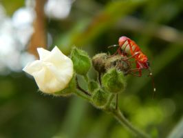 white flower, red bug by Elricthecat