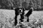 Dog in a clover field by why-you-are-shy