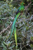 Resplendent Quetzal by mydigitalmind