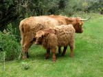 Highland Catle_ cow and calf by schaduwvacht
