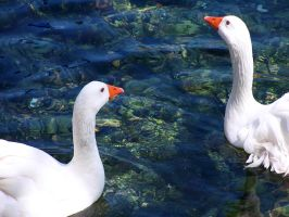 Couple of Geese by Korpsus