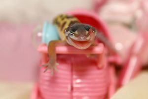 Patternless Leopard Gecko Baby 125 by creative1978