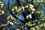 Dogwood by ReachForTheStarfish