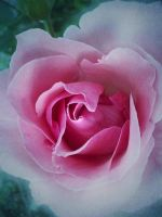 Shades of rose by Christiania-unica