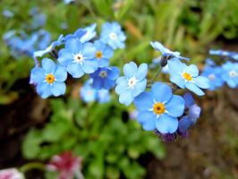 Forget me not by Adeleene
