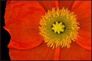 BRIGHT ORANGE POPPY by THOM-B-FOTO