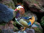 Mandarin Duck Drake by onlycomeoutatnight