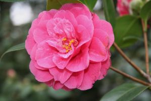 camellias in Flora garden 5 by ingeline-art