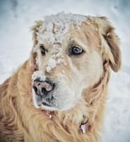 Laki the Golden - snow fun by alledesign