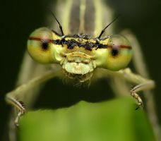 dragonfly 14 by decmeister