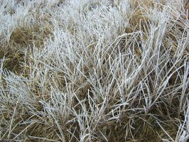 Ice frosted grass 2 by Arctic-Stock