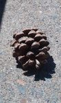 Pinecone by monica52404