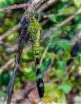 Green Dragonfly by eccoarts