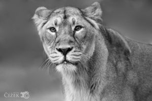 A simple portrait of lioness by Lion-Redmich