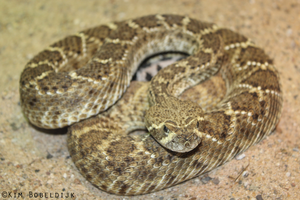 Crotalus atrox by Acurai