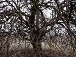 Old tree by ogika