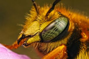 Mason Bee 2009-2 by dalantech