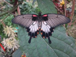 Great Yellow Mormon Dorsal View On Leaf by death-pengwin