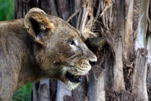 Lion at Bali safari park 2 by AngiWallace