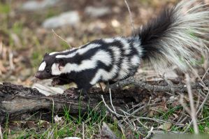 Western Spotted Skunk 3 by robbobert