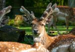 Mesopotamian Fallow Deer close up view by TheFunnySpider