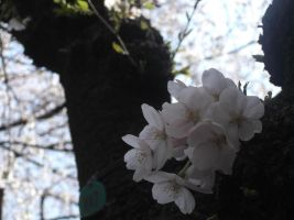 Cherry Blossoms by JustJusti