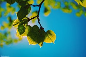 Lime tree leafs by keillly