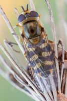 hoverfly dorsal view by zgrkrmblr