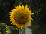 Sunflower by ordinarygirl1