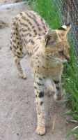 Tautphaus Zoo 64 Serval by Falln-Stock