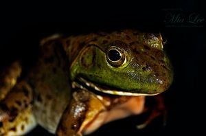 Bull Frog On Black by MiaLeePhotography