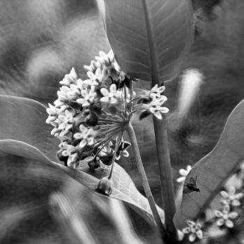 Milkweed in Bloom by aarongcampbell