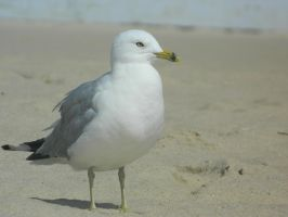 Seagull by LexyLou16