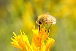 Bee Fly in White Mountains by sellsworth