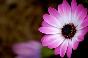 Pink Flower 3 by Mordes