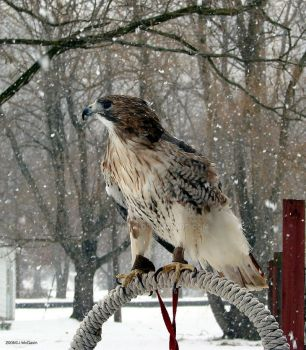 Red Tail Hawk in the snow 1 by seto2112