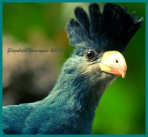 Great blue turaco by mariquasunbird1