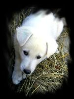 White shepherd puppy by JOhanka1412